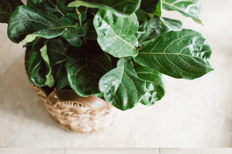 Fiddle-Leaf Figs