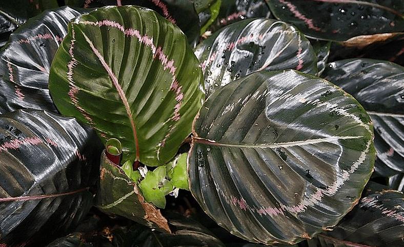 Calathea Dottie plant