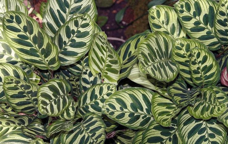 Calathea Makoyana plant