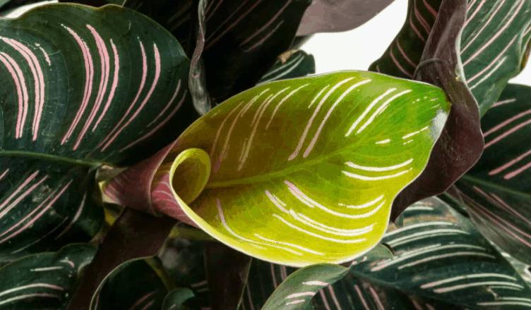 Calathea Ornata