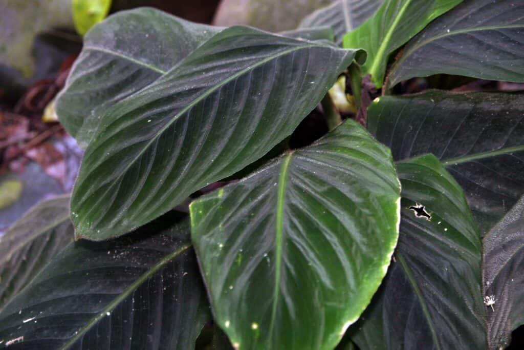 Calathea Warscewiczii plant