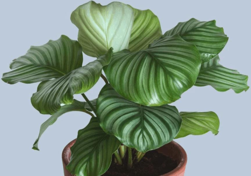 Calathia Orbifolia