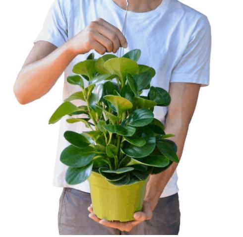 Peperomia Obtusifolia