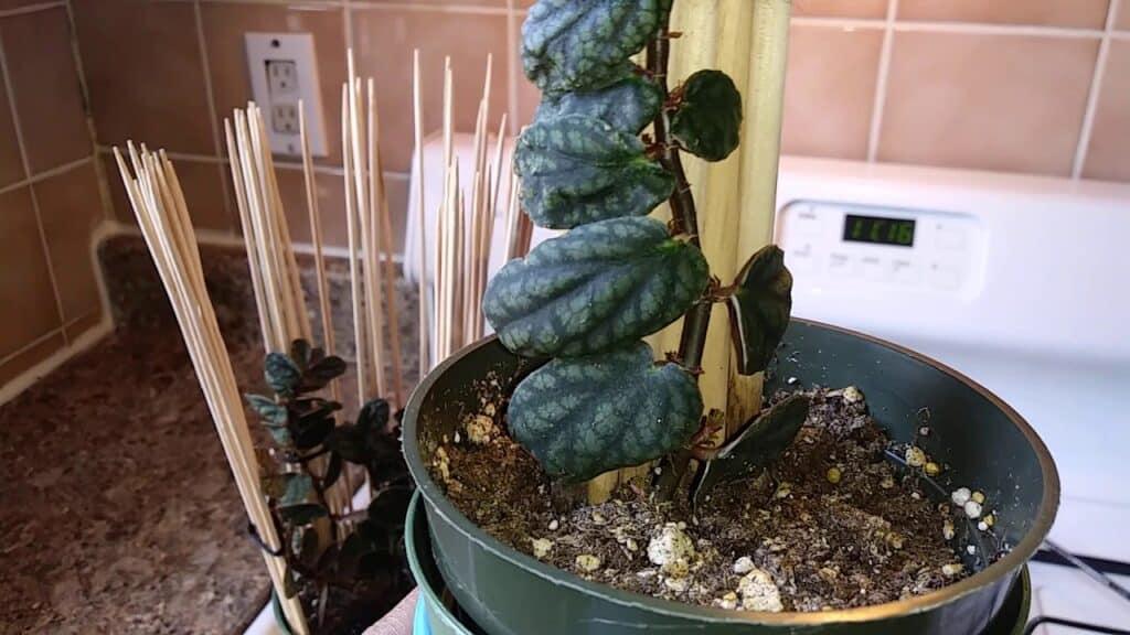 Shingling Plant (Monstera Dubia)