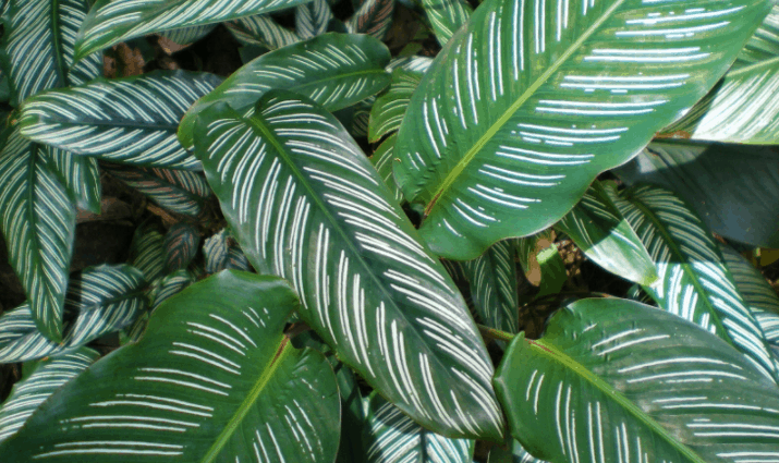 calathea ornata plant