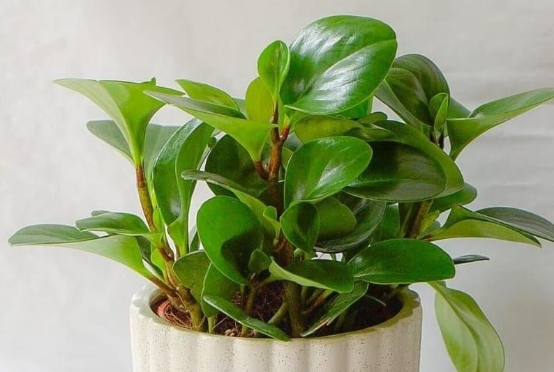Baby Rubber Plant