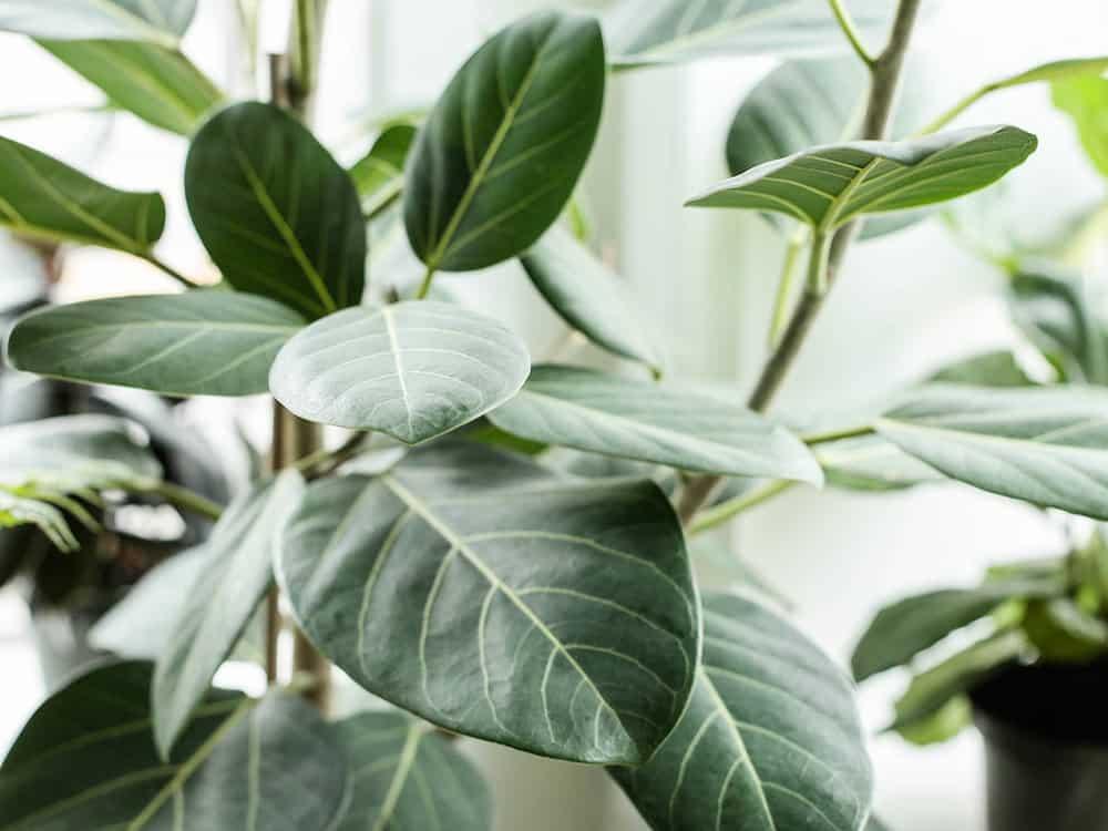 Ficus Varieties