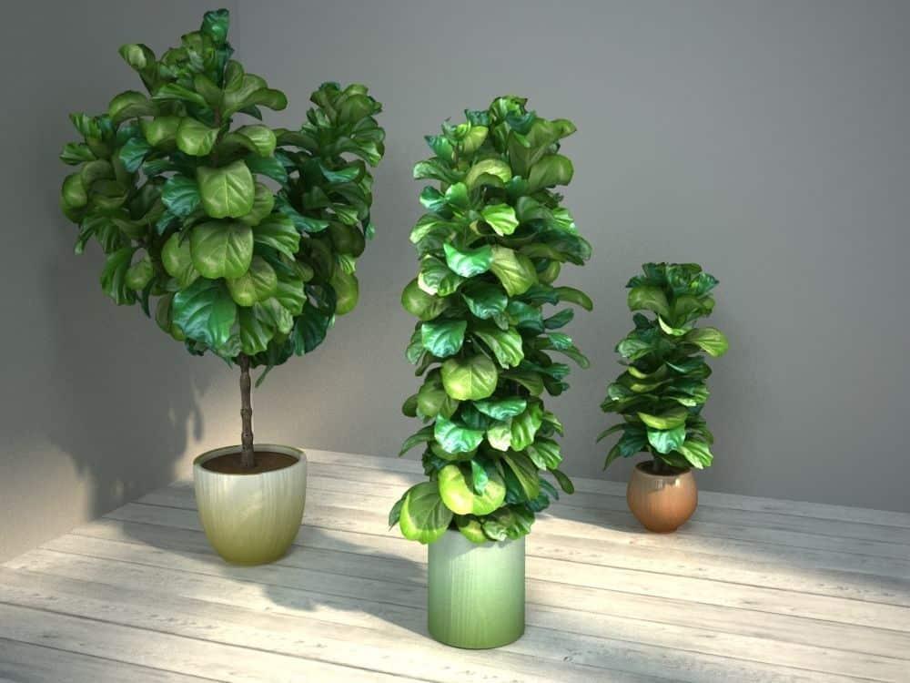 Fiddle-Leaf Fig 'Ficus Lyrata'