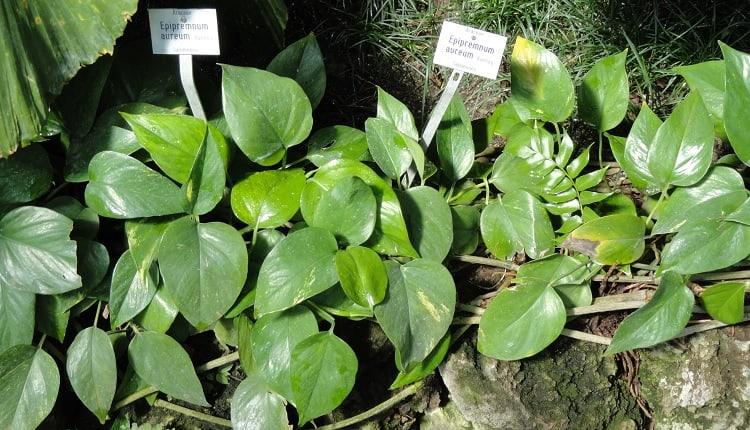How to Plant Jessenia Pothos