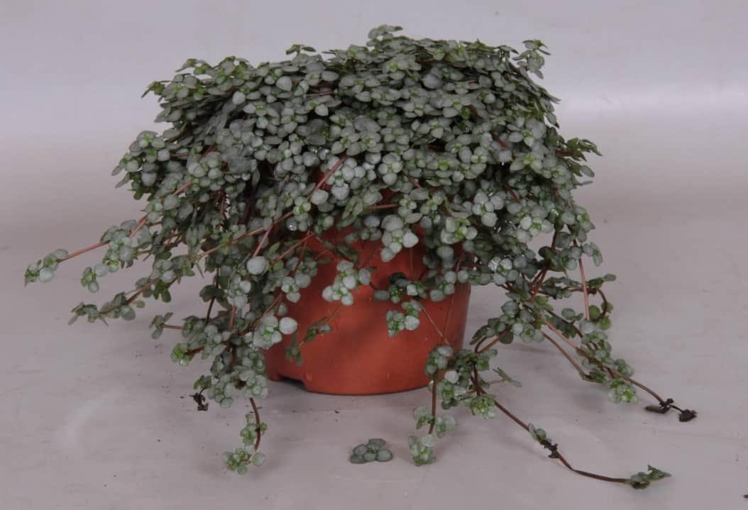 Pilea Glauca Plant