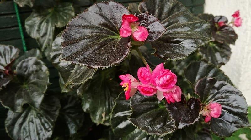 Semperflorens Begonias