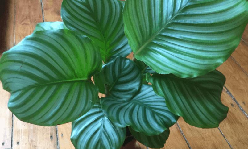 calatea oblifolia plant