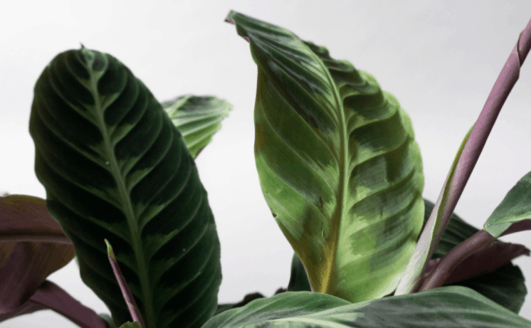 calathea jungle velvet
