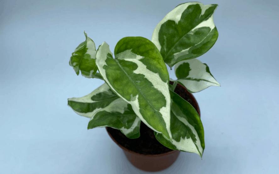 njoy pothos plant