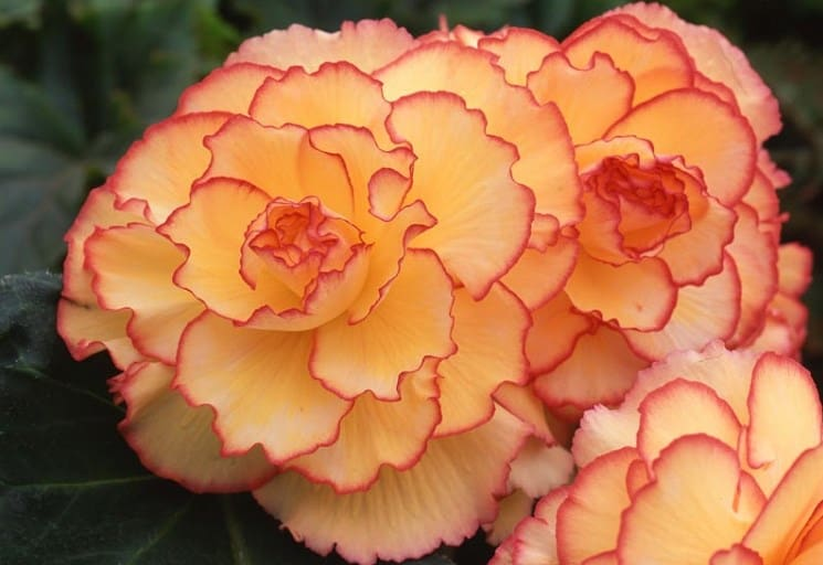 Apricot Scarlet Sunburst Picotee Begonia