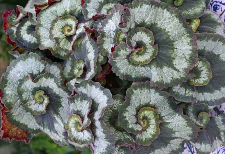 Escargot Begonia