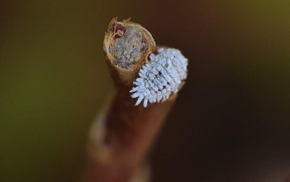 Free photo Insects Entomology Mealybug Leaf-eater - Max Pixel