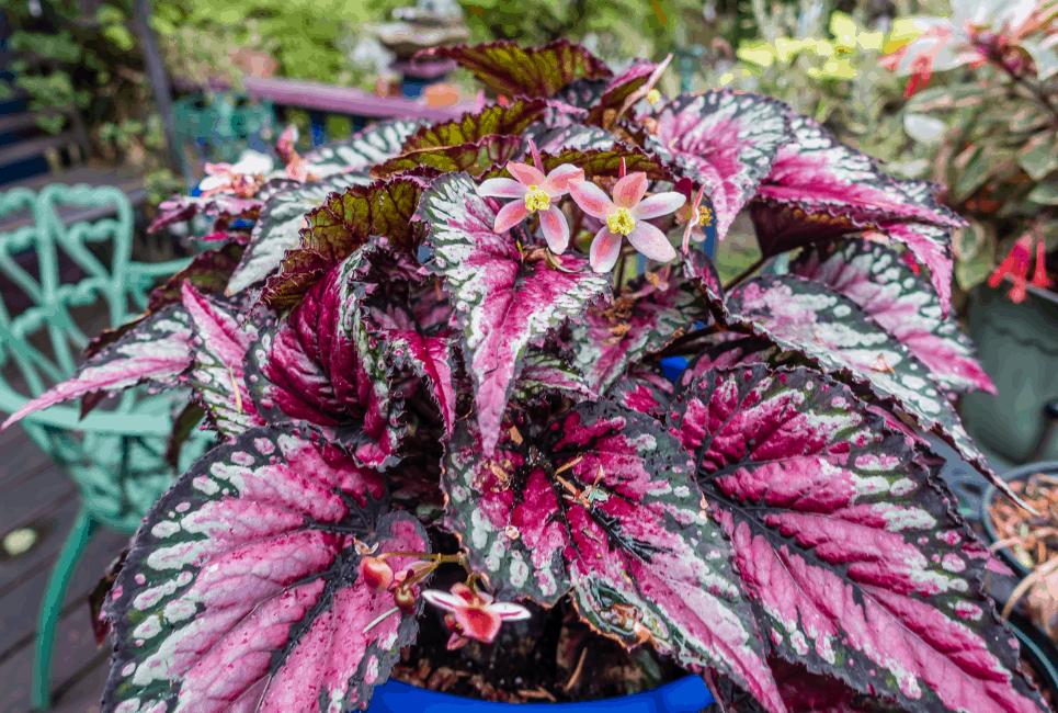 Painted Leaf Begonia