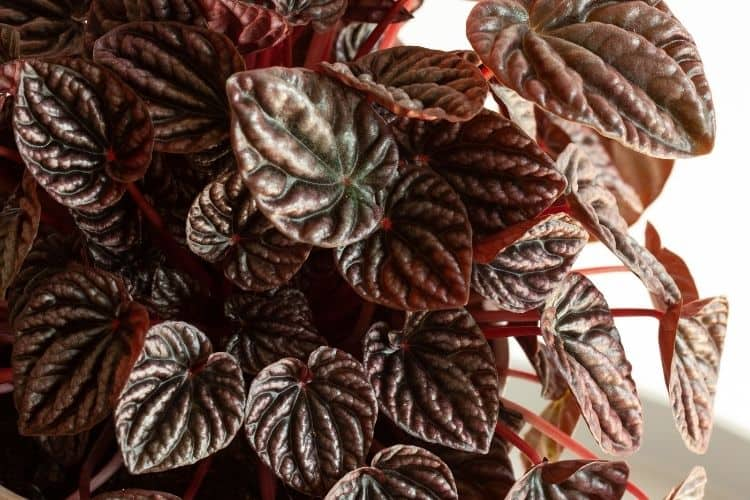 Peperomia Caperata Diseases and Common Problems