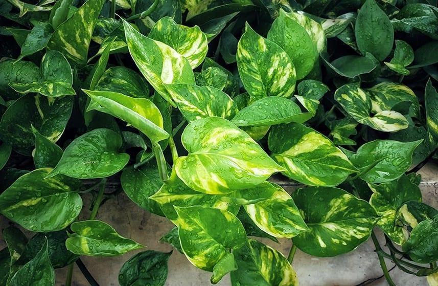 Pothos Leaves Turning Yellow Troubleshooting