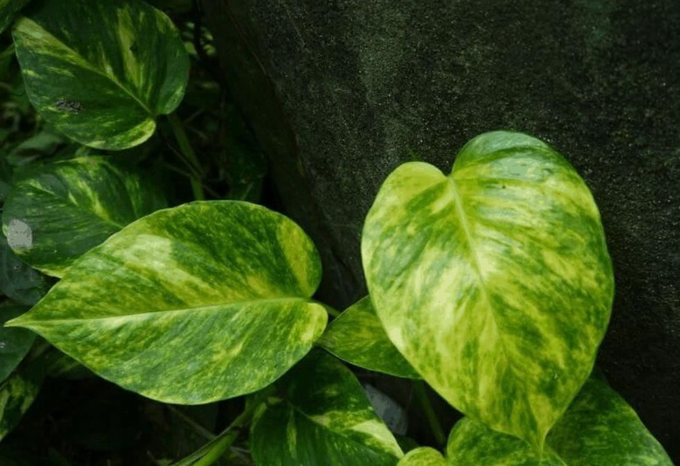Pothos Varieties