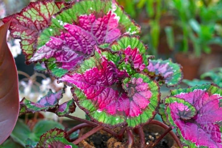 Rex Begonia in a garden