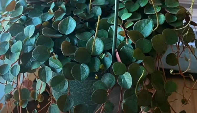 Ruby Peperomia Diseases and Common Problems