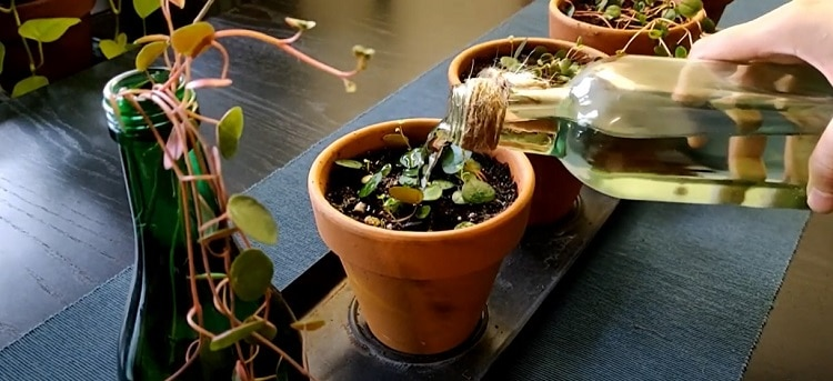Ruby Peperomia Water Requirements