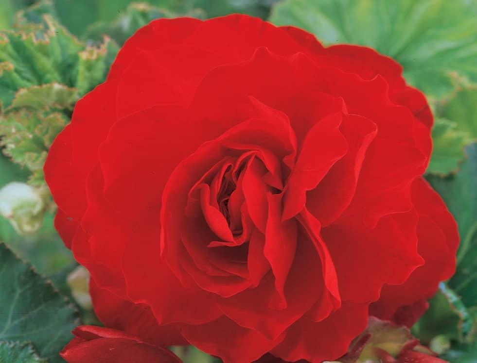 Scarlet Double Begonia