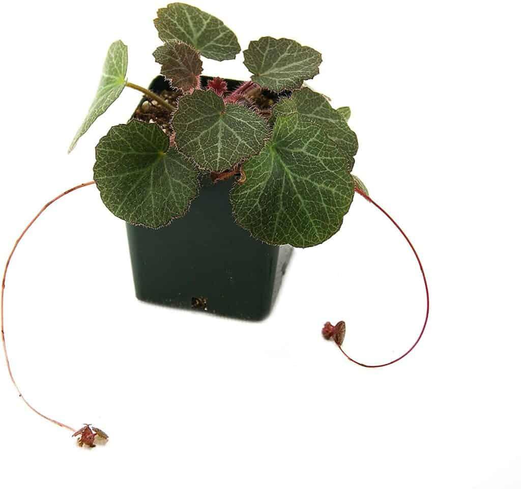 Strawberry Begonia