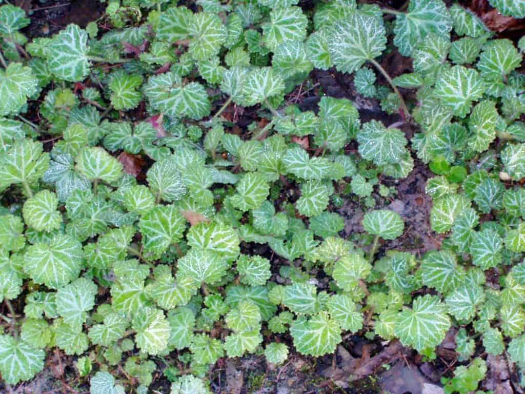 Strawberry Begonia plant
