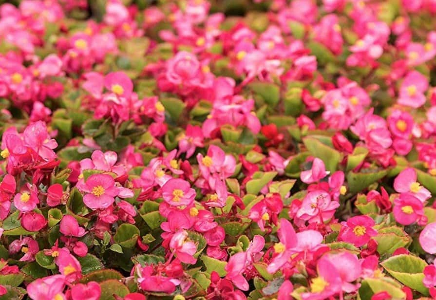 Wax Begonia Seeds