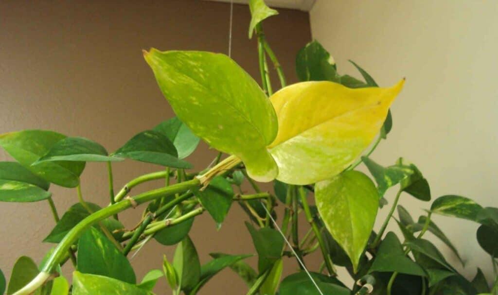 Pothos Leaves Turning Yellow Troubleshooting Yellow Leaves Pothos
