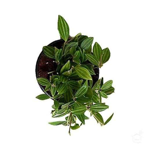parallel peperomia plant