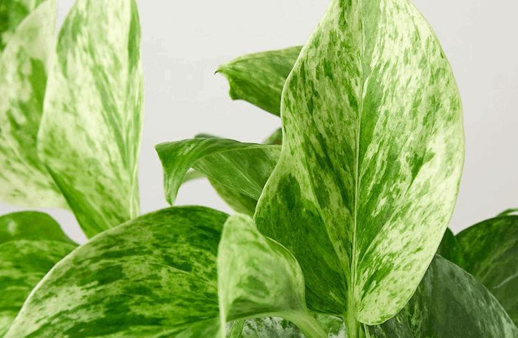 queen pothos plant