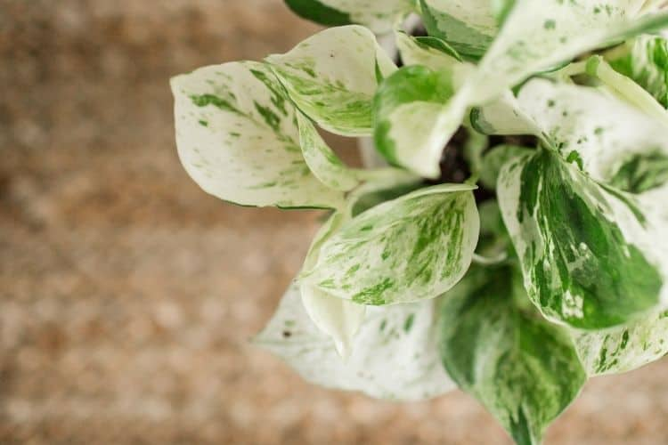 Jade and Pearls Pothos