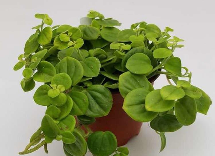 Peperomia Serpens Potting & Soil