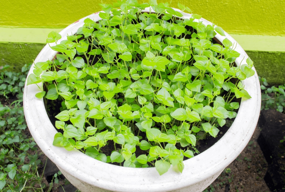 Peperomia Serpens