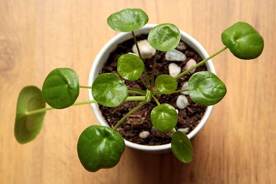 Pilea Plant Varieties