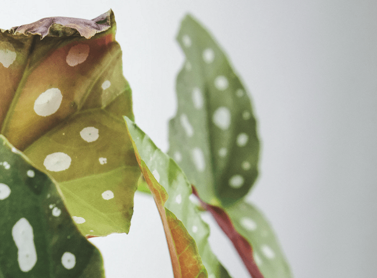 Polka Dot Begonia Diseases