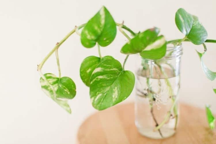 propagating pothos